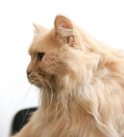 Кошка Томасина в добрые руки