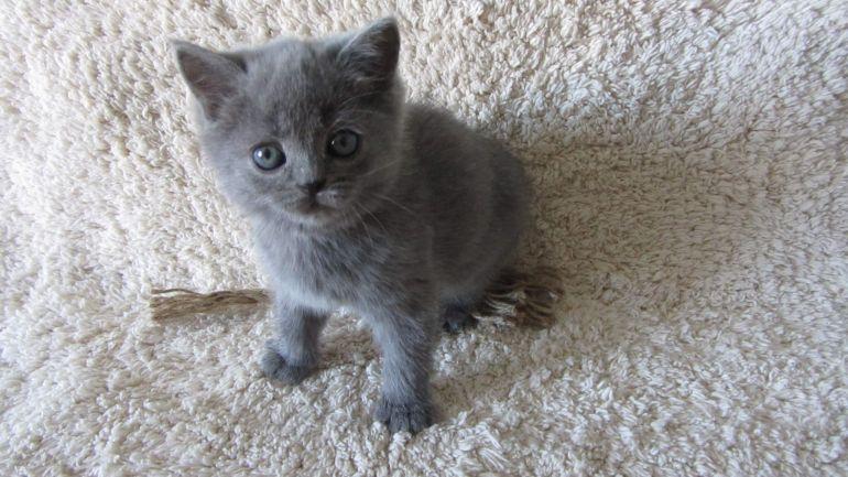 Плюшевый британский котёнок