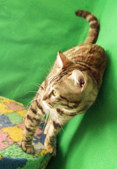 Бенгальская кошка Луна ищет новый дом