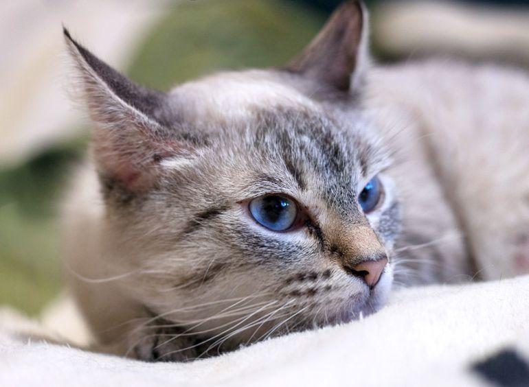Истинная леди кошка Прованс - ищет дом