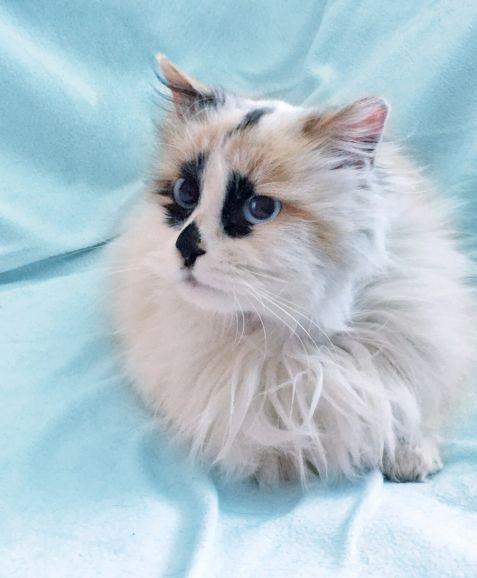 Шарлотта котёнок-девочка породы рэгдолл ищет дом