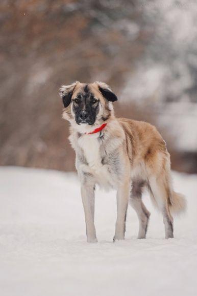 Красивый пёс Честер в добрые руки