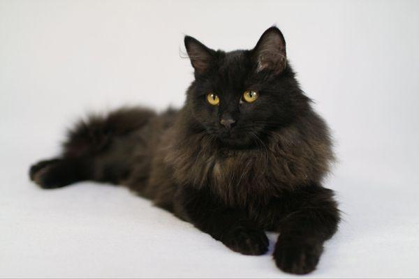 Чёрный принц Ричи, молодой котик в добрые руки