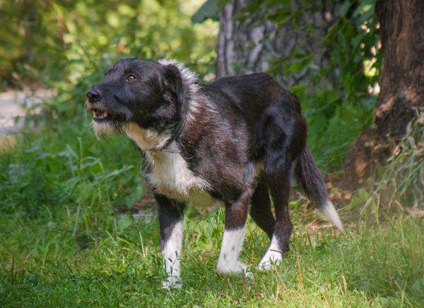 Умный, послушный, спокойный пёс Берти. Ищу доброго хозяина