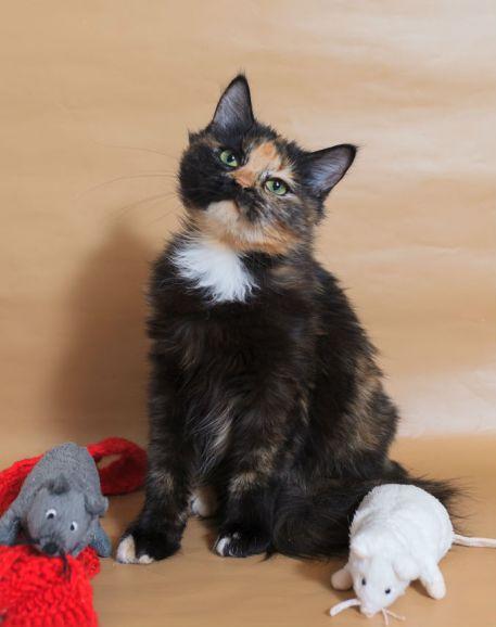 Пушистая черепашка Кати, котёнок, 6 месяцев, в дар