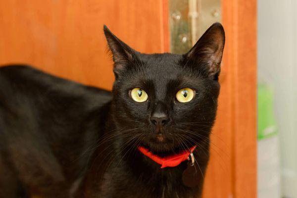 Черное совершенство по имени Бумер. Кот в добрые руки