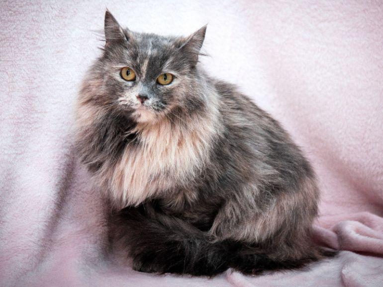 Милая уютная пушистая кошка Тиффани