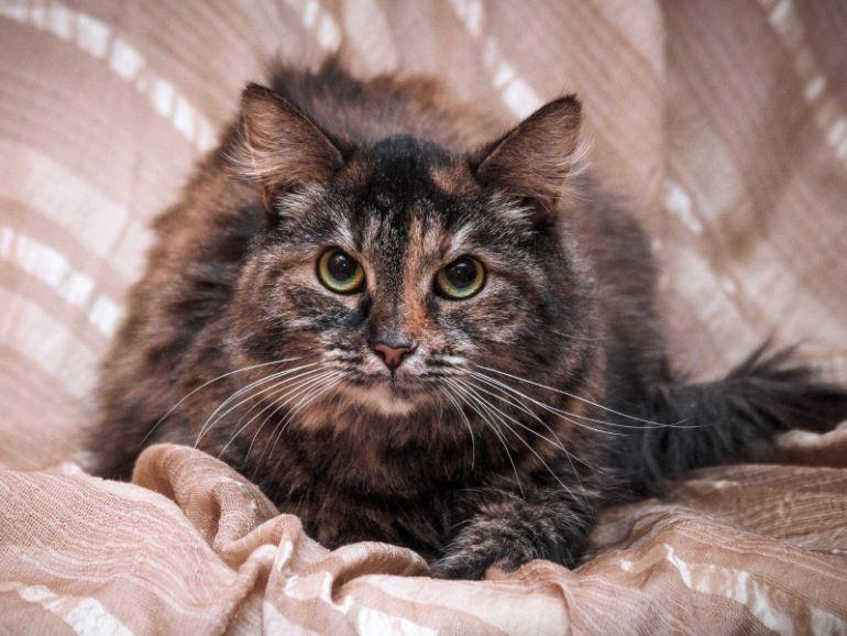 Ласковая пушистая сибирская кошка Шуша