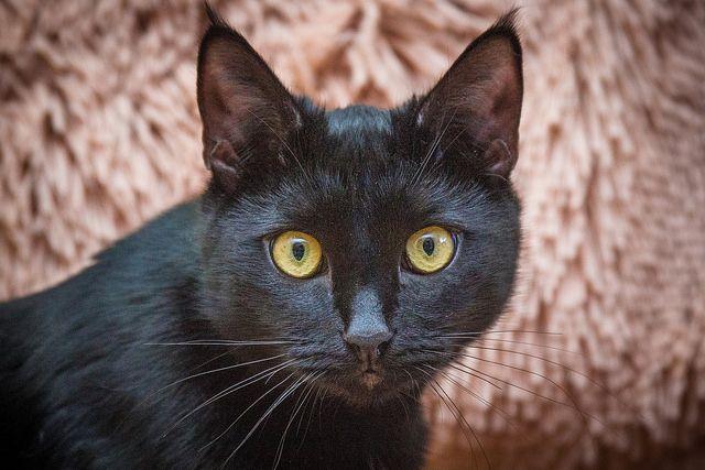 Шикарный чёрный кот Сержик в добрые руки