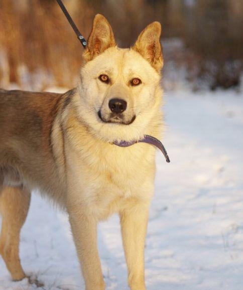 Молодой и красивый пёс Айно в добрые руки