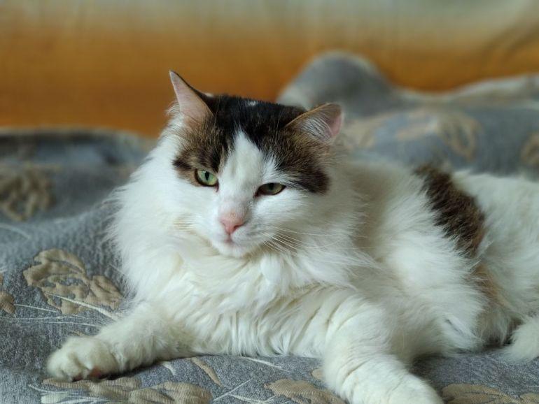 Милая и красивая, пушистая мурчащая кошечка Люсия ищет дом
