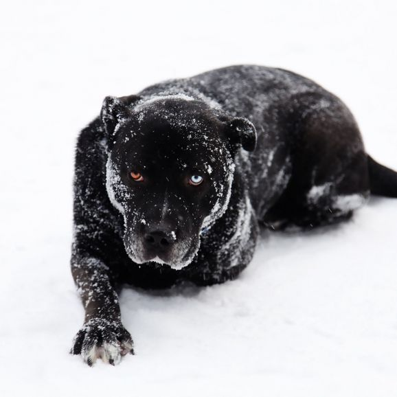 Сириус большой чёрный пёс