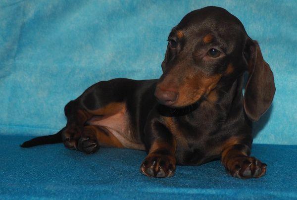 Такса - подрощенный шоколадный щенок/девочка