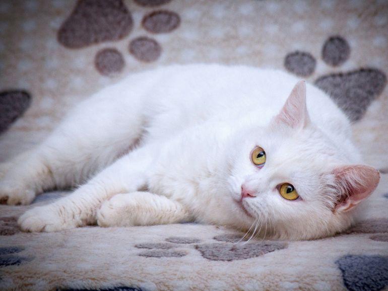 Бархатная нежная белая кошка Лапа