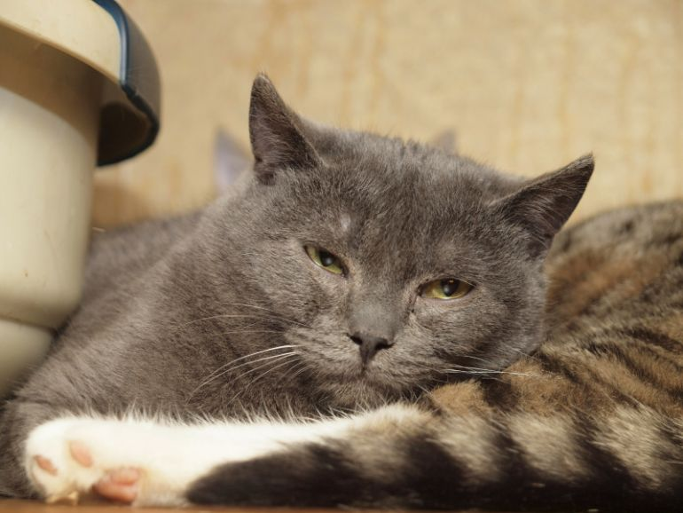 Русский голубой кот Грей