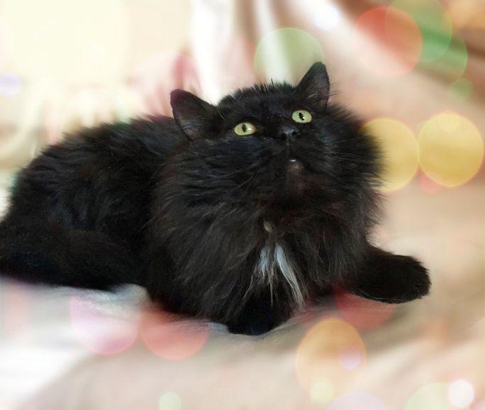Преданность и пушистая роскошь - кот Балу в дар