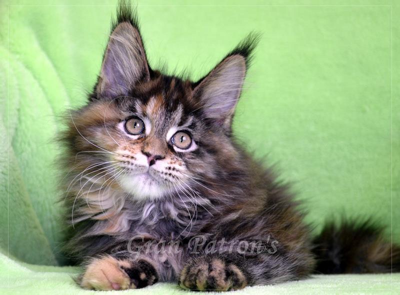 Котята Мейн Кун из питомника GranPatron